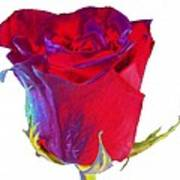 Velvet Rose Bud 2 Art Print