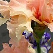 Velvety Soft Vanilla And Pink Iris Art Print