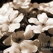 Verbena Named White Hail Art Print