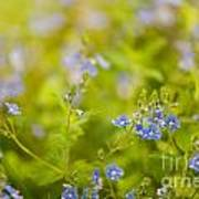 Veronica Chamaedrys Named Speedwell Or Gypsyweed Art Print