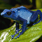 Very Tiny Blue Poison Dart Frog Art Print