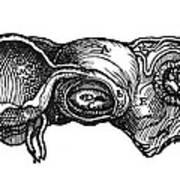 Vesalius: Uterus, 1543 Art Print
