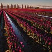 Vibrant Dusk Tulips Art Print