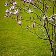 Vibrant Pink Magnolia Blossoms Art Print