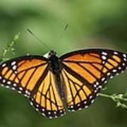 Viceroy Butterfly Art Print
