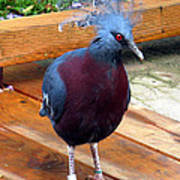 Victoria Crowned Pigeon Strutting Around Art Print