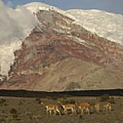 Vicuna Herd Grazing At Mt Chimborazo Art Print