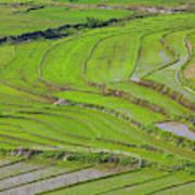Vietnam, Muong, Elevated View Of Rice Art Print
