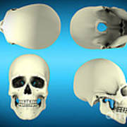 View Of Human Skull From Different Art Print