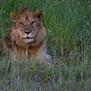 Vigilant Lion Art Print