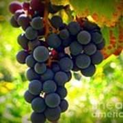 Vine Purple Grapes  Art Print