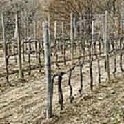 Vineyard In Early Spring Art Print