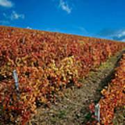 Vineyard In Negotin. Serbia Art Print