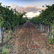 Vineyard In Tuscany Art Print