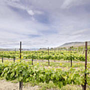 Vineyard Landscape In Maryhill Washington State Art Print