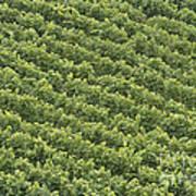Vinschgau Vineyard Art Print