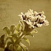 Vintage Double Petunia Art Print