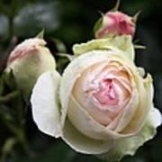 Vintage Rose Art Print
