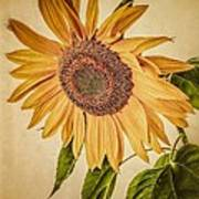 Vintage Sunflower Art Print