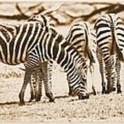 Vintage Zebras Art Print