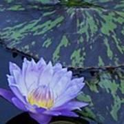 Violet Lily Art Print