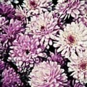 Violet Mums Art Print