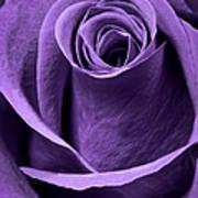 Violet Rose Art Print by Adam Romanowicz