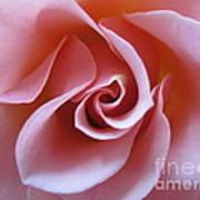 Vivacious Pink Rose 3 Art Print