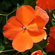 Vivid Orange Vermillion Impatiens Flower Art Print