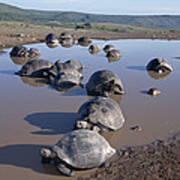 Volcan Alcedo Giant Tortoise Wallowing Art Print