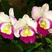 Cattleya Orchid Art Print