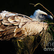 Vulture Resting In The Sun Art Print