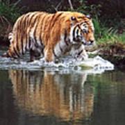 Wading Tiger Art Print