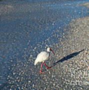 Walk Like An Ibis Art Print