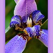 Walking Iris With Purple Border Art Print