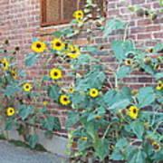 Wall Of Sunflowers 1 Art Print