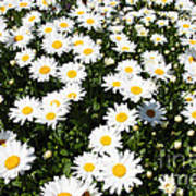 Wall To Wall Daisies Art Print