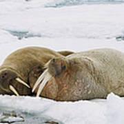 Walrus Male And Female On Ice Floe Art Print