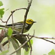 Warbler - Black-throated Green  Art Print