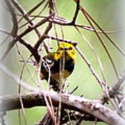 Warbler - Black-throated Green Warbler Art Print