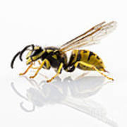 Wasp Isolated  Art Print