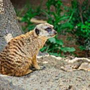 Watchful Meerkat Art Print