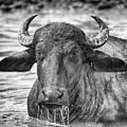 Water Buffalo-black And White Art Print
