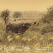 Water Buffaloes At Corroboree Billabong V2 Art Print