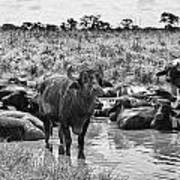 Water Buffaloes-black And White Art Print
