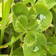 Water Droplets On Clover Art Print