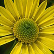 Water Kissed Yellow Chrysanthemum  Art Print