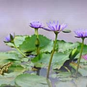 Water Lilies Of Vietnam Art Print