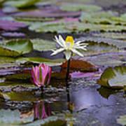 Water Lillies9 Art Print