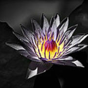Water Lilly In Hdr Art Print